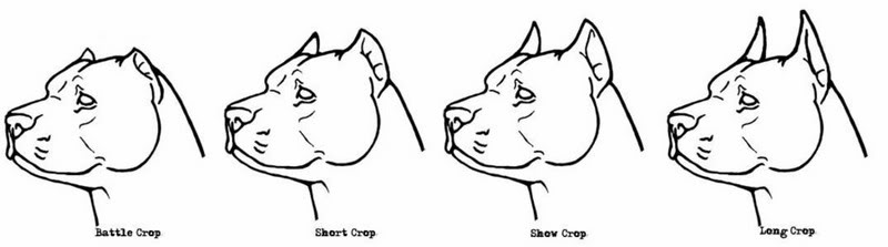 American Bully Ear Crop Different Styles