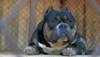 Pocket Size American Bully