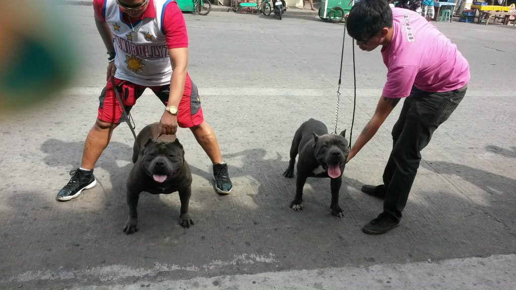 American Bully Standard and American Bully Pocket