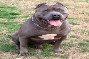 American Bully XXL Size - Dog name Diesel