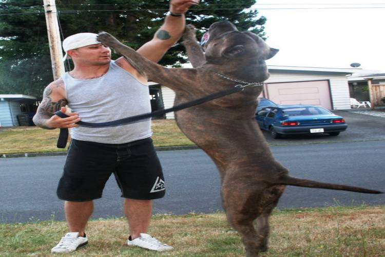 American Bully XXL Standing Dog