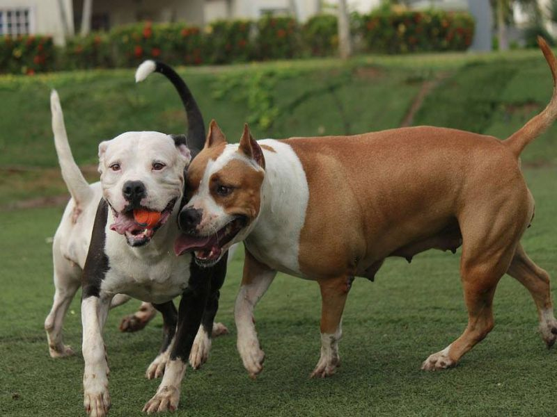 American Bully and Pitbull Terrier Playing