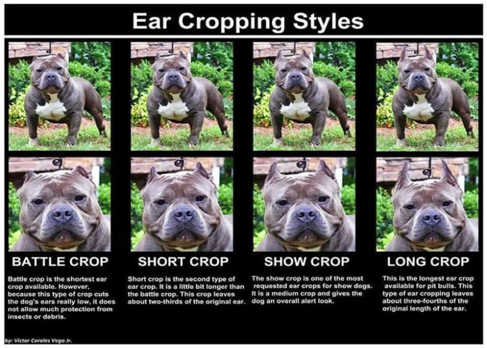 Ear Crop Style For American Bullies Dog