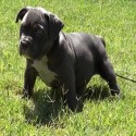 American Bully Puppy Training