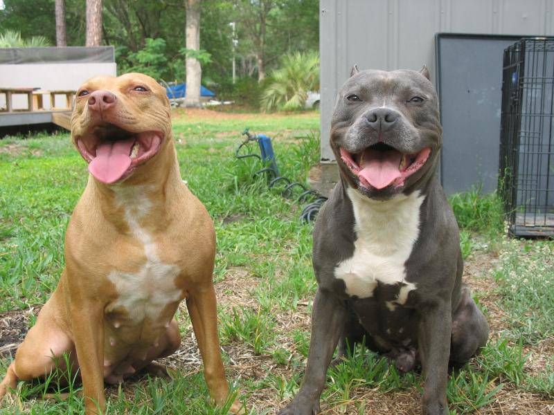 Razor Edge Pitbulls Photos