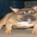 Exotic American Bully Pictures