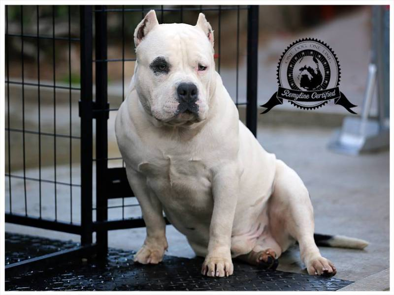 White American Bully - By Remyline
