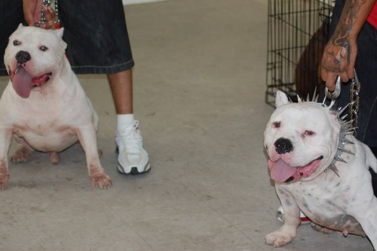 White Rhino Family The Most Expensive American Bully
