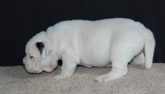 White Rhino Pitbull Most Expensive American Bully Puppy