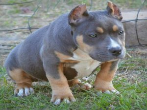 American Bully Tri Color Puppy
