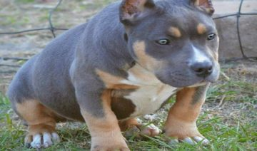 The Tri Color American Bully: Why it has an Uncommon Three-colored coat
