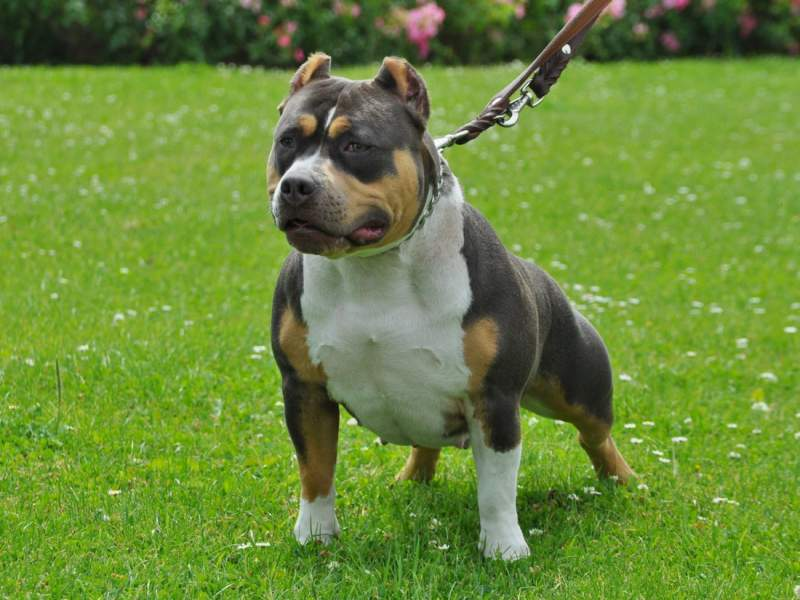 The Tri Color American Bully Why It Has An Uncommon Three
