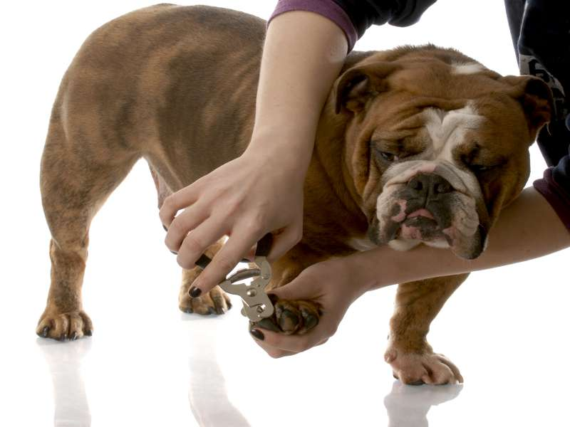 Why Trimming a Bully Nails is Really Important? • AMERICAN BULLY ...