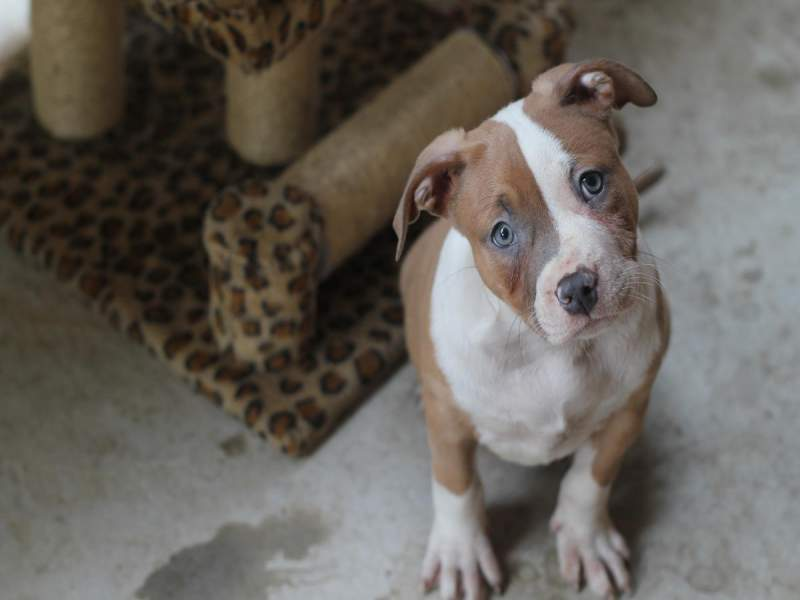 American Bully Puppy Pictures (deworming guide)