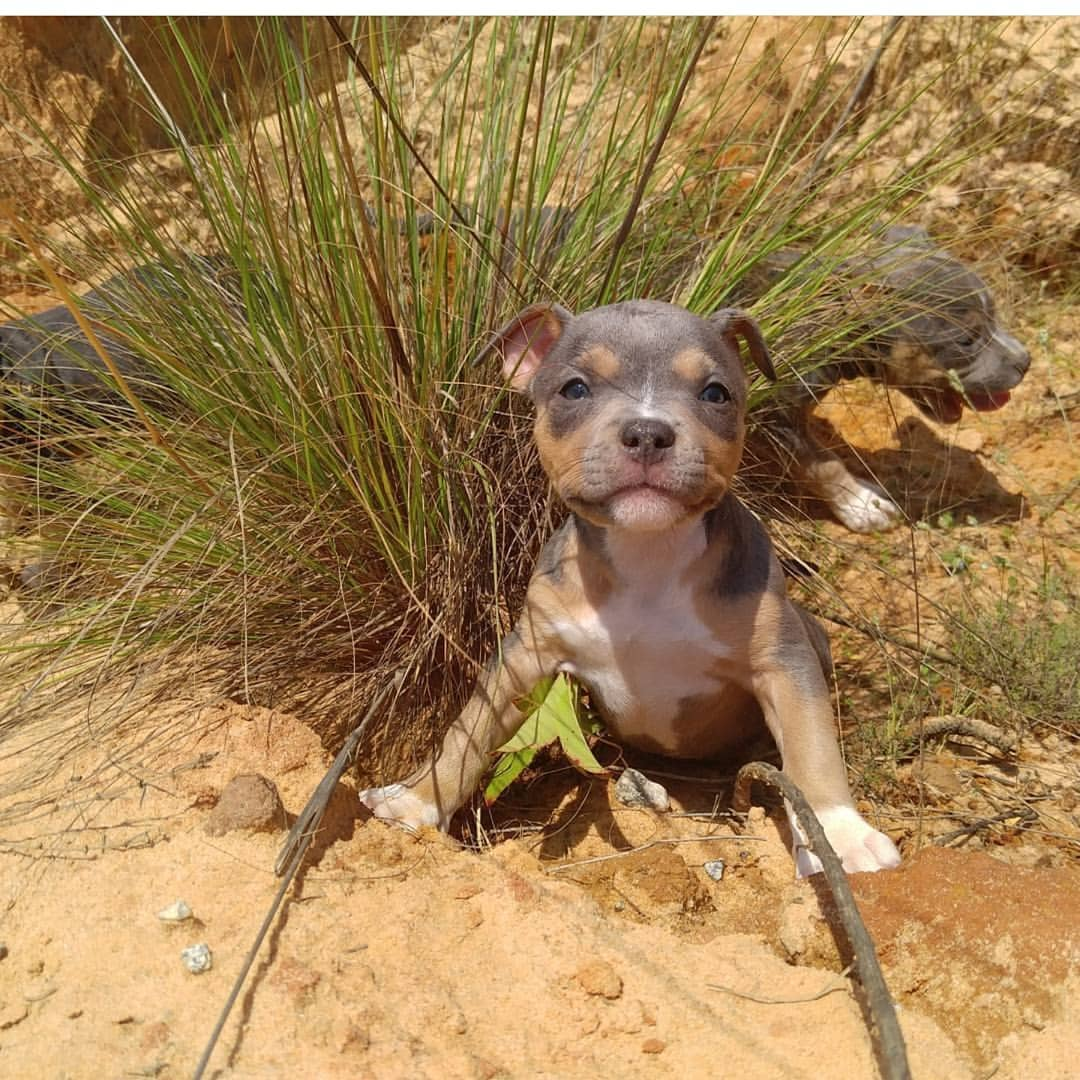 American Bully Puppy Tri Color