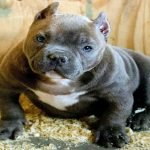Best Names For Pitbull and American Bully Dogs