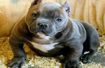 Best Names American Bully Dogs