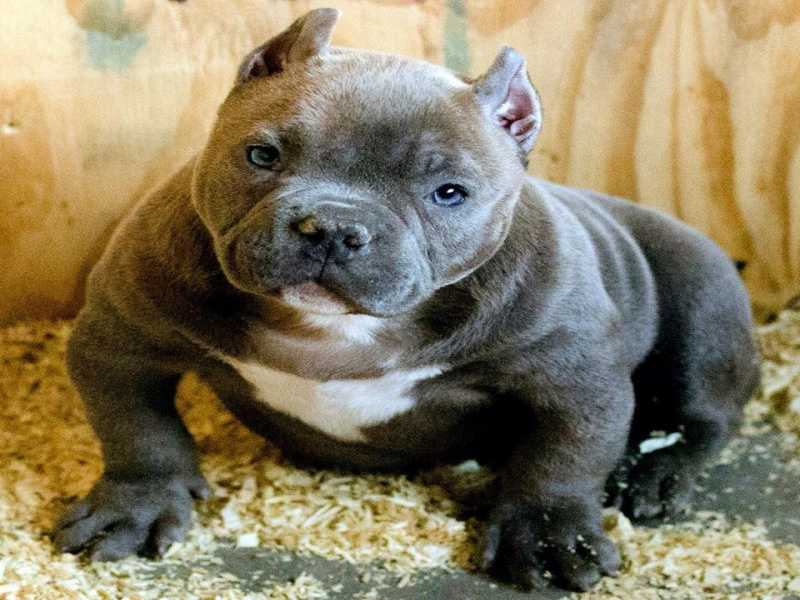 American Bully Breed 101 - Temperament ⋆ Pictures ⋆ Guide