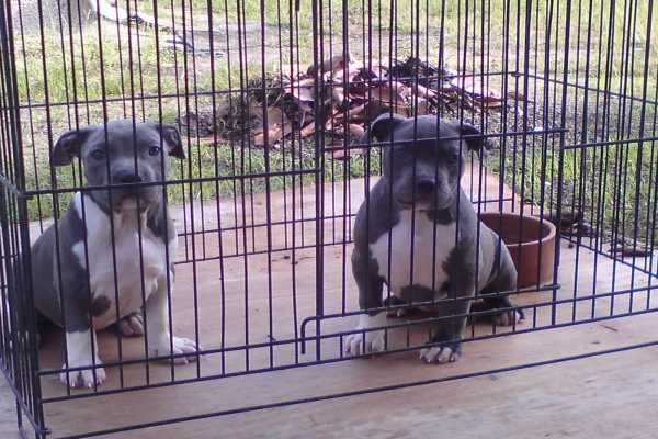 American Bully Puppies Inside the Crate