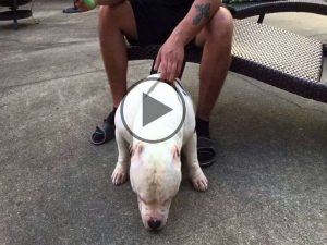 American Bully Extreme Videos