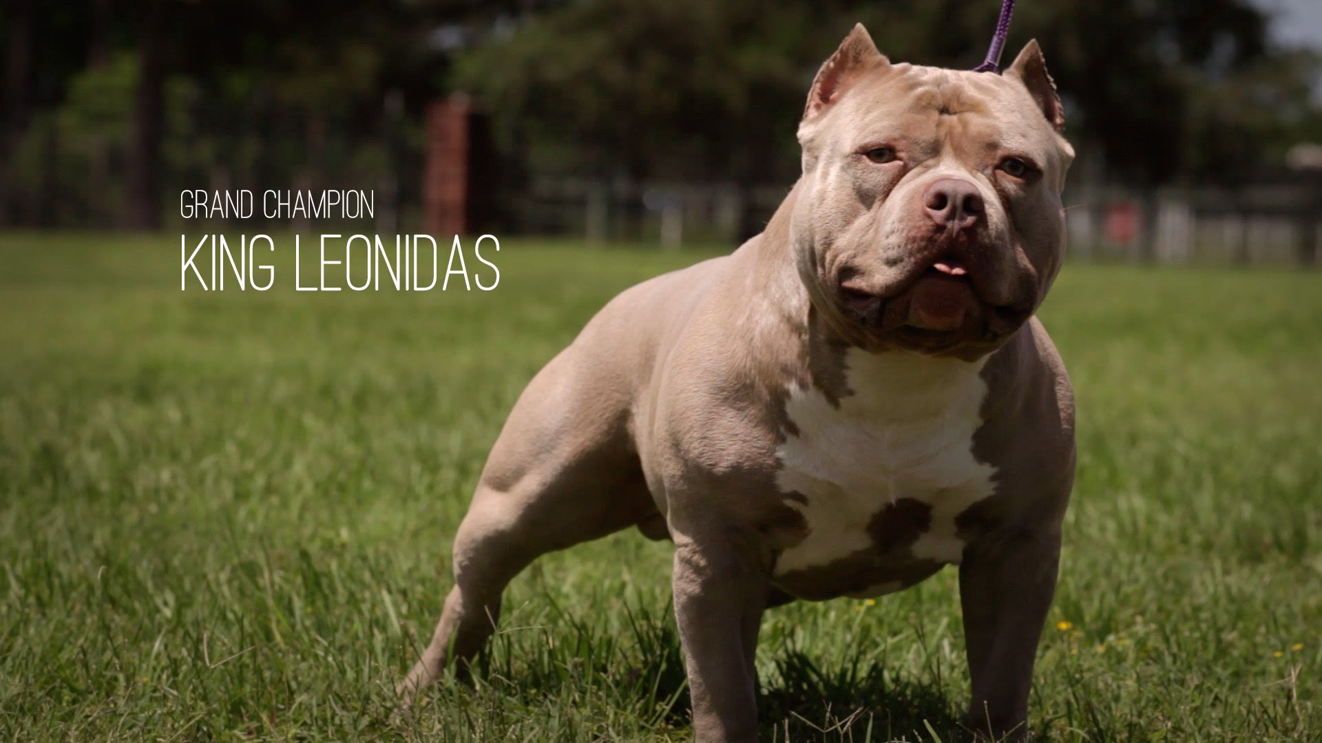 American Bully Dog of the Day: King Leonidas the Grand Champion Bully