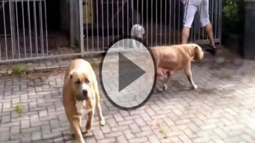 American Bully or XXL Pit bulls Playing Together