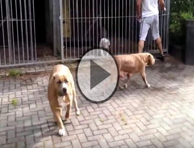 Watch: This Amazing XXL Pit bulls Playing Together