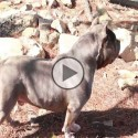 Famous AMERICAN BULLY Kennel