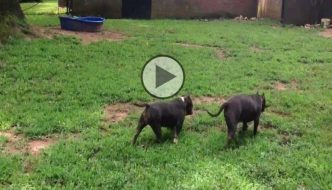 Work out for American Bully Extreme