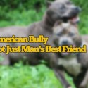 American Bully Females Playing Together