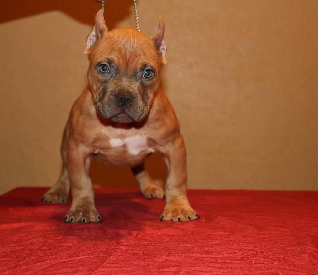 Brown American Bully Puppy Picture