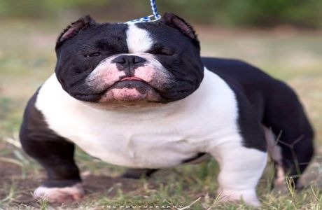 Bullseye Cute American Exotic Bully