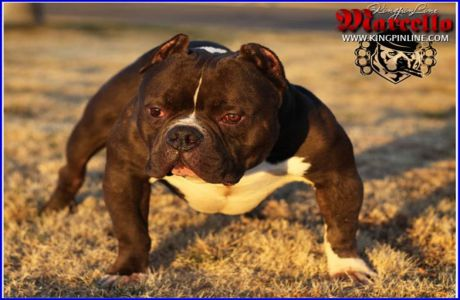 Exotic American Bully Marcello