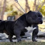 11 Popular American Exotic Bullies You Need to Know