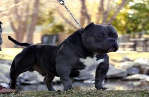 Karate Kid American Exotic Bully Picture