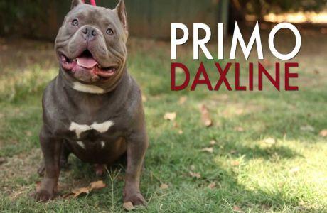 Primo DaxLine American Bully Exotic
