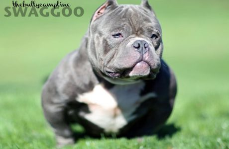 THE BULLY CAMP'S MR. SWAGGOO Exotic American Bully