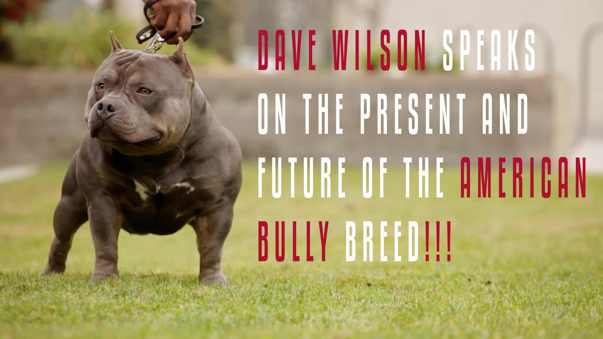 The American Bully's Future from Dave Wilson's Perspective.