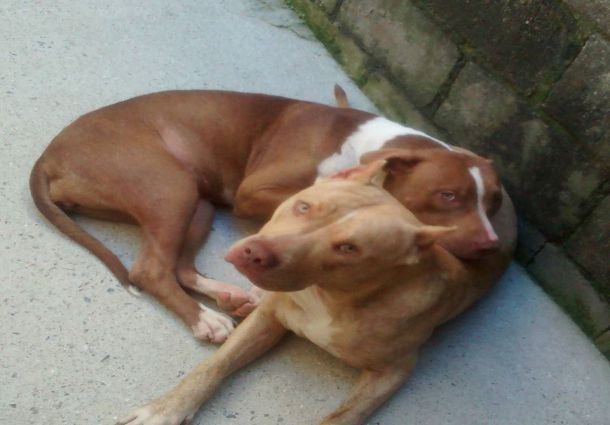 2 Adorable Red Nose Pit Bull Dog Adult