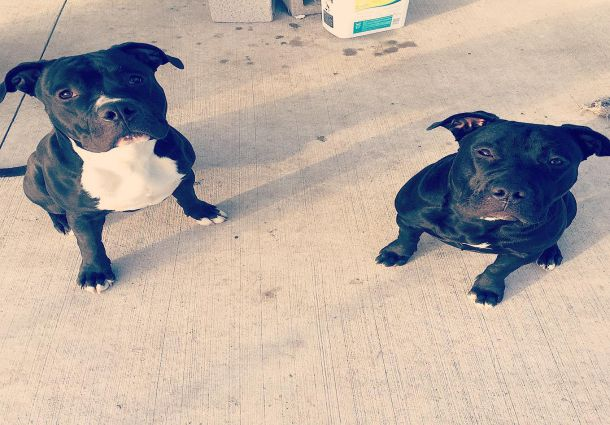 2 black pit bull dogs with white variation