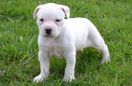 American Bulldog White Puppy