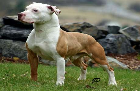 American PitBull Terrier Adult Picture
