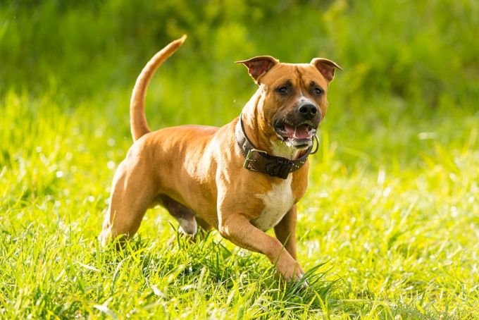 Pitbull Types #2 American Staffordshire Terrier