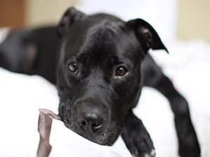 Black Pit Bull Dog Breed Picture
