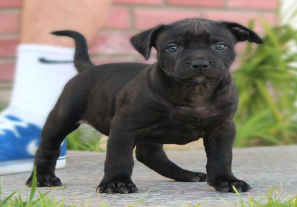 Black Pitbull Puppy Photo