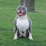 Blue Nose Pit Bull Dog Breed With White Body