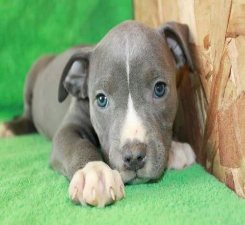 Blue Nose Pit Bull Puppies Sad