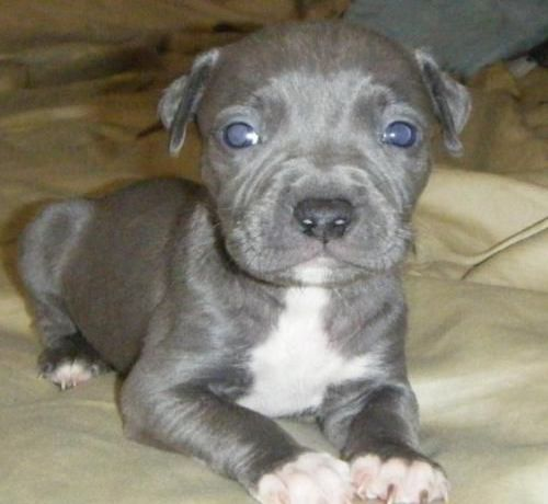 Blue Nose Pitbull Puppy Looking At You