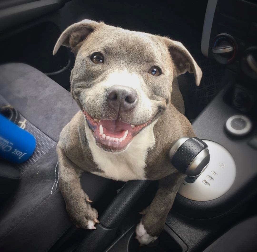 Cute and Adorable Pit Inside the car
