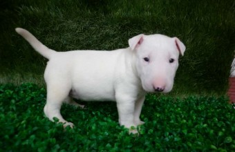 Famous Pit bull Breeds